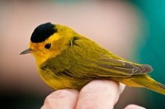 Warbler Banding Session. A Wilson's Warbler enjoys a quick visit at the Denver Audubon Society's Bird Banding Station.  He stopped in one of their nets long Royalty Free Stock Image