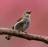 Warbler Bird Perched on a Branch Stock Image