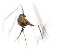 Warbler on Brach. Little bird overlooking the beach on a branch stock image