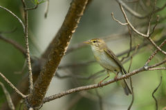 Warbler on a branch Royalty Free Stock Photos