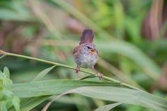Warbler Cetti Стоковые Изображения