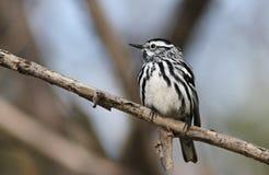 warbler czarny biel Zdjęcie Royalty Free