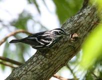 warbler czarny biel Obrazy Stock