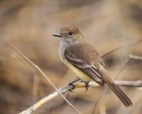 Warbler Finch obraz stock
