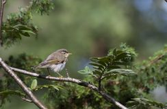 Warbler Royalty Free Stock Photography