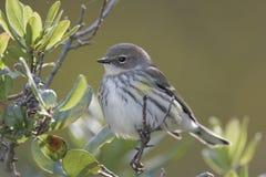 warbler juvenill Стоковое фото RF