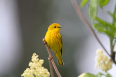 warbler kolor żółty Obraz Stock
