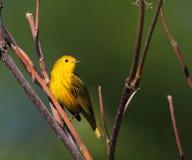 warbler kolor żółty Fotografia Royalty Free