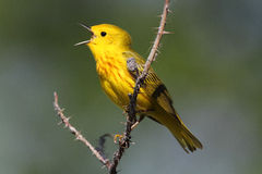 warbler kolor żółty Obrazy Stock