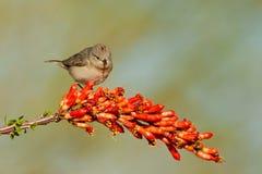 warbler lucy s Стоковые Изображения