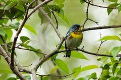 Warbler Parula Стоковая Фотография