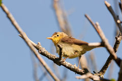 warbler polyglotta hippolais melodious Стоковые Фотографии RF