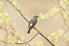 warbler rumped kolor żółty Obrazy Royalty Free