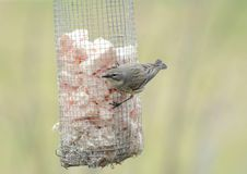 Warbler Songbird Visiting Suet Feeder. Closeup of a spring warbler species visiting a hanging suet feeder station Royalty Free Stock Photography