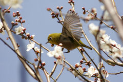 Warbler on spring blossom Royalty Free Stock Photo