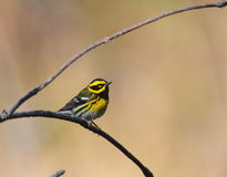 warbler townsends Стоковое Изображение