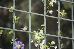 Warbler umieszczający na ogrodzeniu Fotografia Royalty Free
