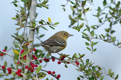 Warbler in Yaupon Holly Stock Photography