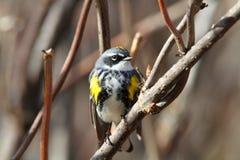 warbler yellowrumped Obraz Stock