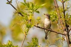 Warbling o tipo de pássaro Imagens de Stock