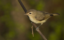 Warbling Vireo Royalty Free Stock Images
