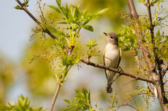 Warbling Vireo. On a branch stock images