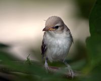 Warbling Vireo Chick Royalty Free Stock Images