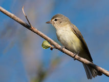 Warbling Vireo close-up profile Royalty Free Stock Images