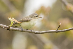 Warbling Vireo Stock Photos