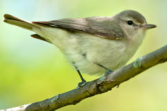 Warbling Vireo Royalty Free Stock Photos