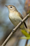 Warbling Vireo Stock Images