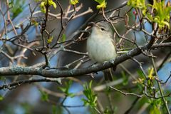 Warbling Vireo - Vireo gilvus. Warbling Vireo perched on a branch. Ashbridges Bay Park, Toronto, Ontario, Canada Royalty Free Stock Images