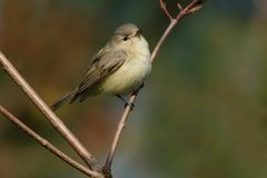 Warbling Vireo - Vireo gilvus. Warbling Vireo perched on a branch. Ashbridges Bay Park, Toronto, Ontario, Canada Royalty Free Stock Image