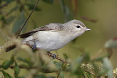Warbling Vireo Perched on a Branch Royalty Free Stock Image