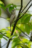 Warbling Vireo - Vireo gilvus. Warbling Vireo perched on a branch looking for bugs to eat. High Park, Toronto, Ontario, Canada Royalty Free Stock Image