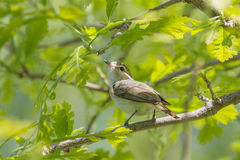 Warbling Vireo Royalty Free Stock Photo