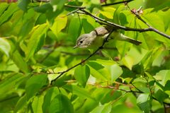 Warbling Vireo - Vireo gilvus. Warbling Vireo perched on a branch looking for bugs to eat. High Park, Toronto, Ontario, Canada Royalty Free Stock Photos