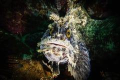 Warbonnet Japonicus auf buntem Meeresgrund Stockfotos