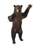 Warczący gniewnego brown niedźwiedzia odizolowywającego nad bielem zdjęcia royalty free