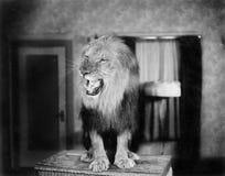 Warczeć lwa w utrzymanie pokoju (Wszystkie persons przedstawiający no są długiego utrzymania i żadny nieruchomość istnieje Dostaw fotografia royalty free
