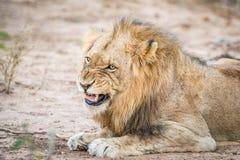 Warczeć męskiego lwa Obrazy Royalty Free