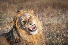 Warczeć męskiego lwa Zdjęcia Stock