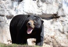 Warczeć słońce niedźwiedzia fotografia stock