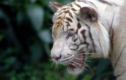 warczenie tygrysa Obrazy Stock