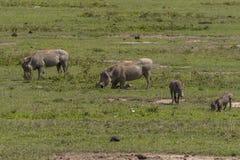 Wardhogsfamilie, Ngorongoro-Krater, Tanzania Royalty-vrije Stock Afbeelding
