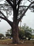 Wardholme, Torrey Pine的大师, 库存图片