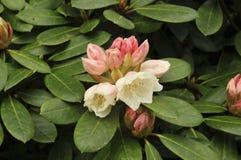 Wardii för rhododendron`-Bob Bovee ` grupp Arkivbild