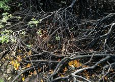 Ware mangroveboomsoort Rhizophora stock foto's