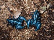 Wared 2 больших больших скорпионов на том основании готовых к f Стоковые Фотографии RF