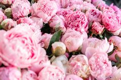 Warehouse refrigerator, Wholesale flowers for flower shops. Pink peonies in a plastic container or bucket. Online store. Floral shop and delivery concept royalty free stock images